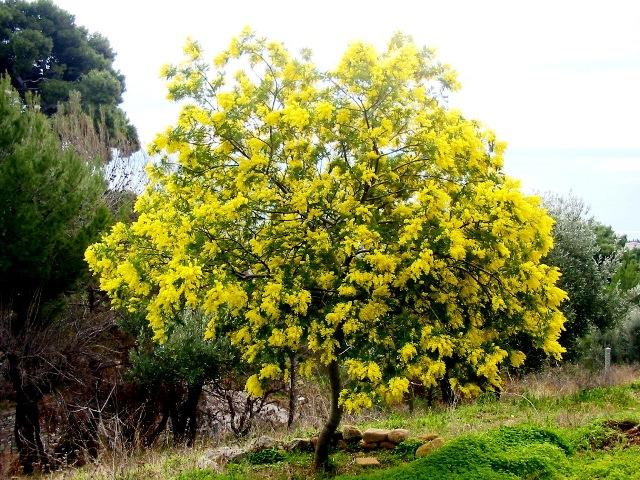 Mimosa-albero006